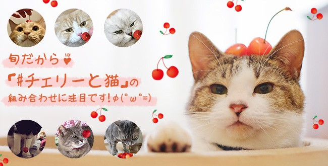 cherry_tit
